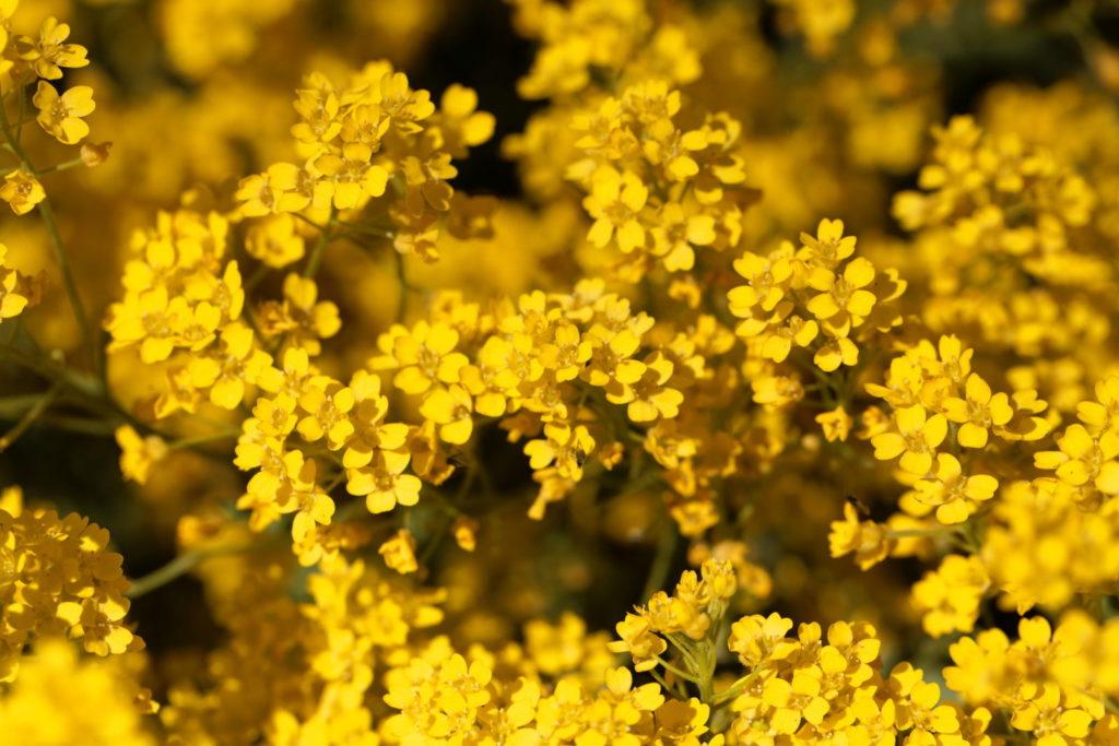 Felsen-Steinkraut mit gelben Blüten