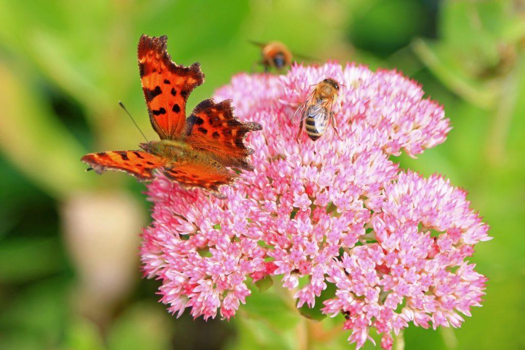 Fetthenne mit Schmetterling und Biene