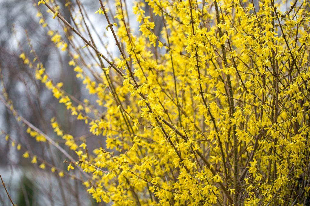 Forsythiemit gelben Blüten