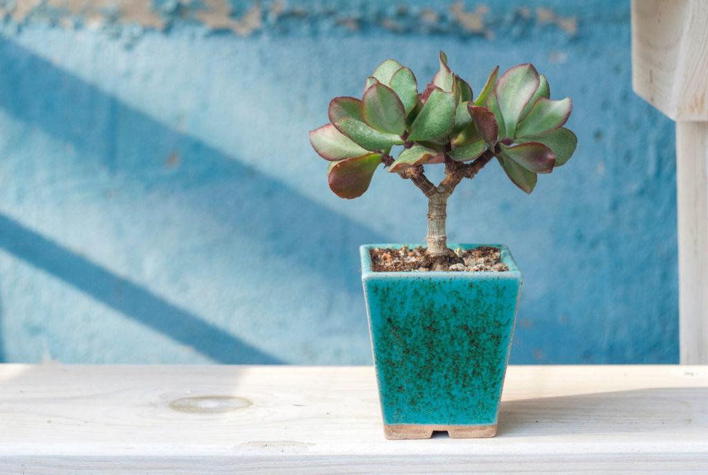 Geldbaum Bonsai klein in blauem Topf