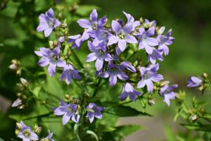 Lila Glockenblume Im Garten