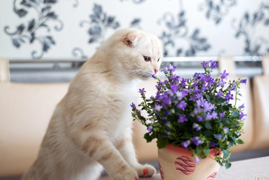 Katze riecht an Glockenblume