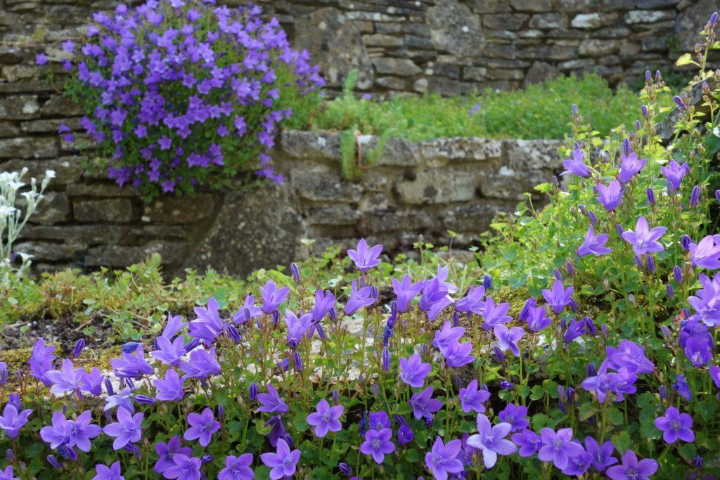 Viele blaue Glockenblumen in Beeten