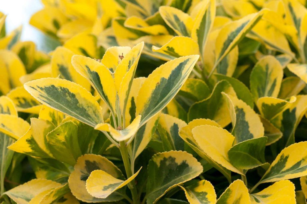 Goldliguster mit gelben Blättern