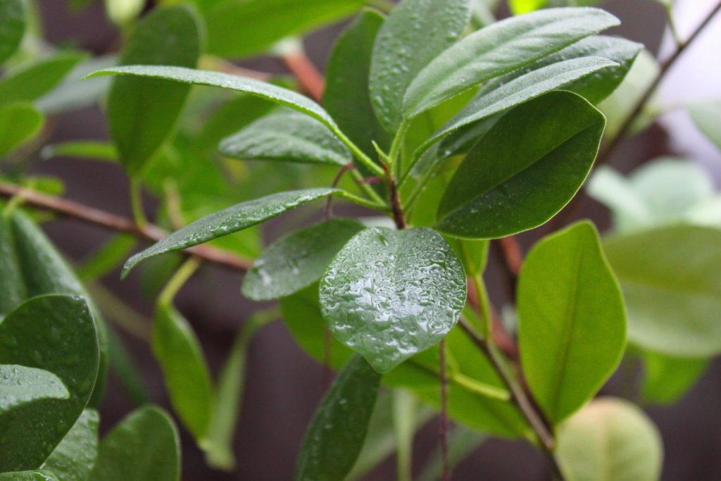 Grüne Blätter des Gummibaumes mit Wassertropfen an ihrer Oberfläche