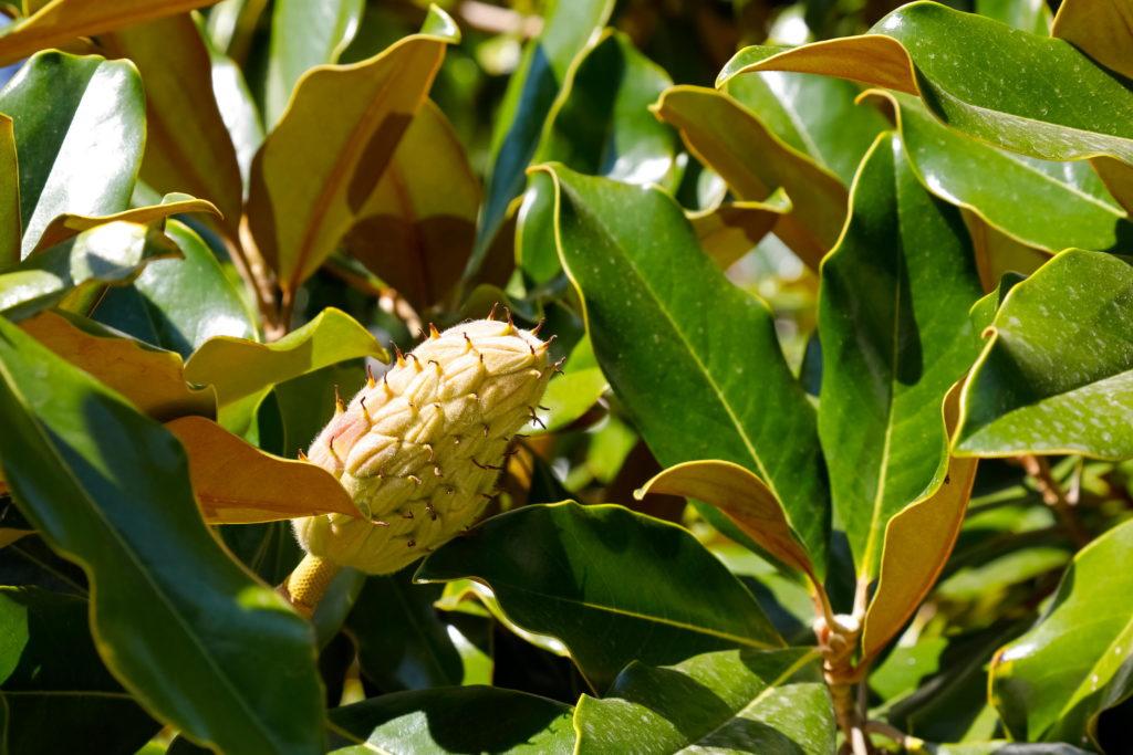 Gelbe Frucht von Gummibaum ungenießbar