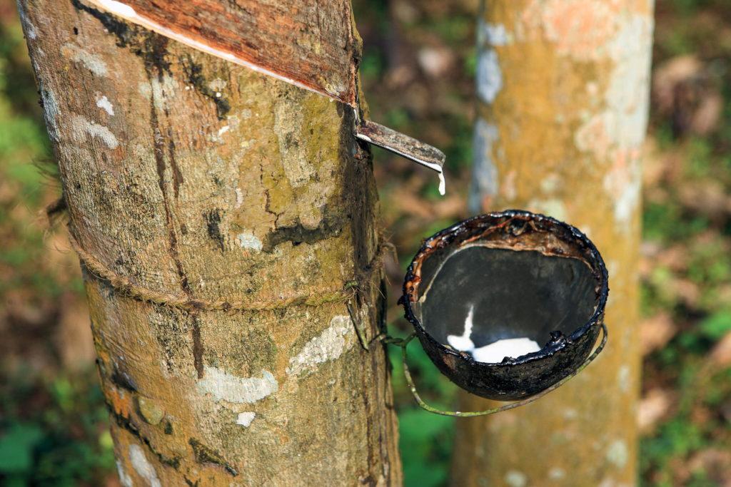 Baumstamm eines Gummibaumes während der Kautschuk-Gewinnung