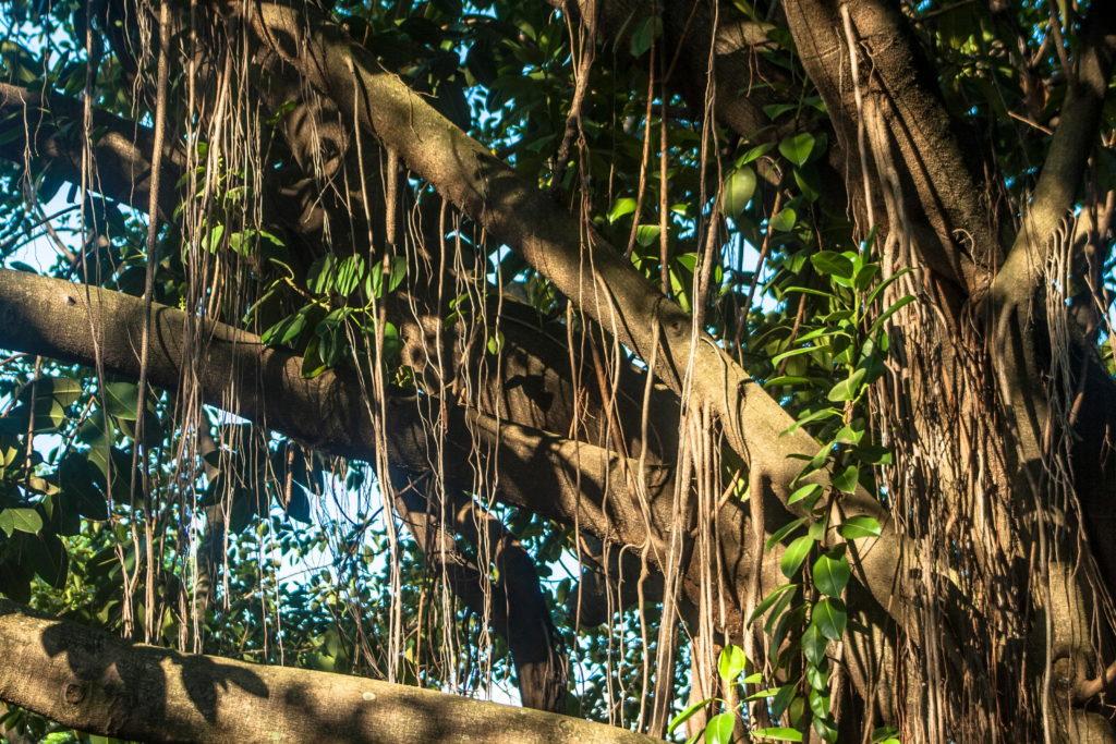 Großer Gummibaum mit langen Luftwurzeln in der Natur