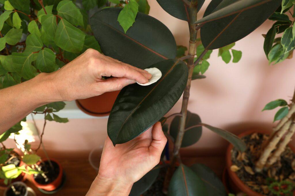 Gummibaum wird mit Wattepad von Staub befreit