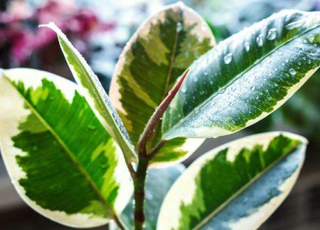 Spitze Eines Grün-weißen Gummibaumes Mit Wassertropfen