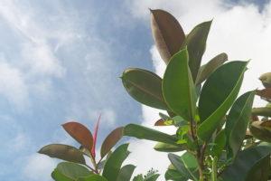 Gummibäume Wachsen Unter Freiem Himmel