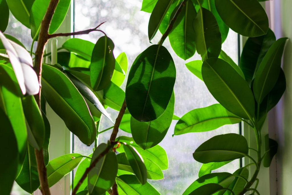 Gummibäume wachsen üppig vor einem Fenster