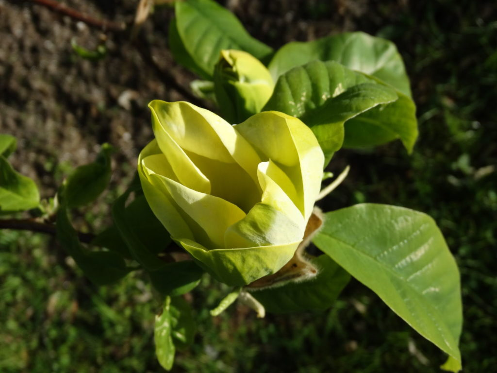 Gurkenmagnolie gelb grüne Blätter