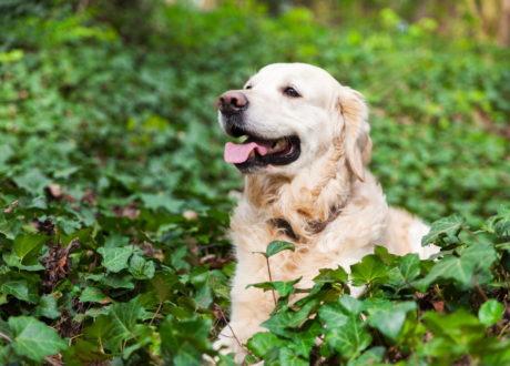 Hund Spielt Auf Einer Mit Efeu Bewachsenen Stelle