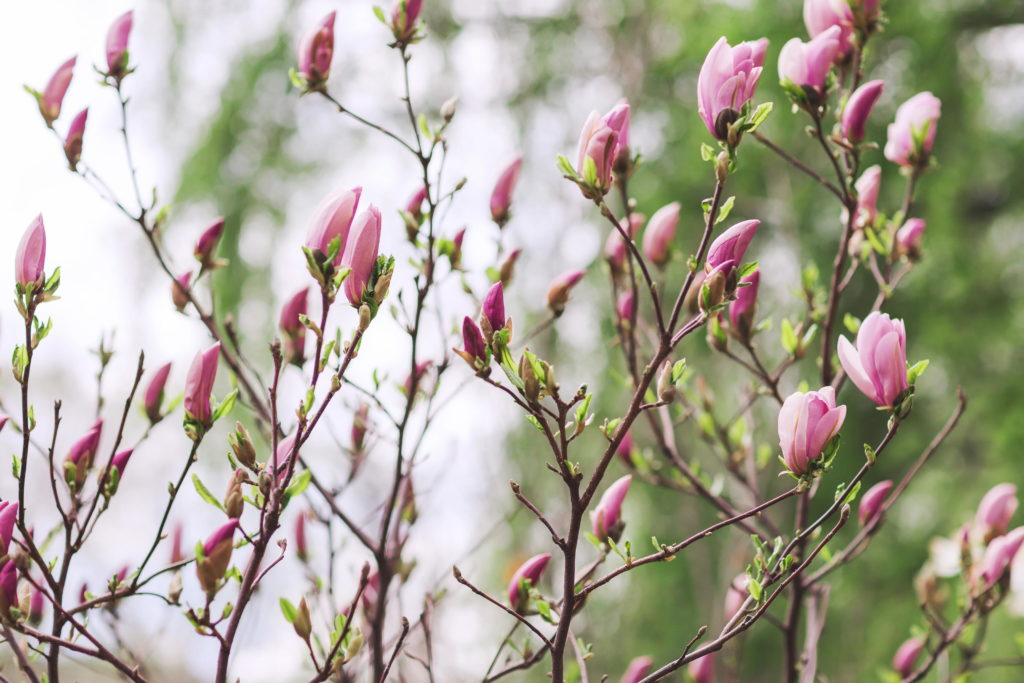 rosa Knospen Magnolie im Garten