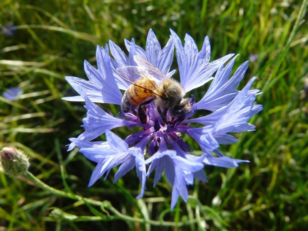 Kornblume mit Biene im Garten