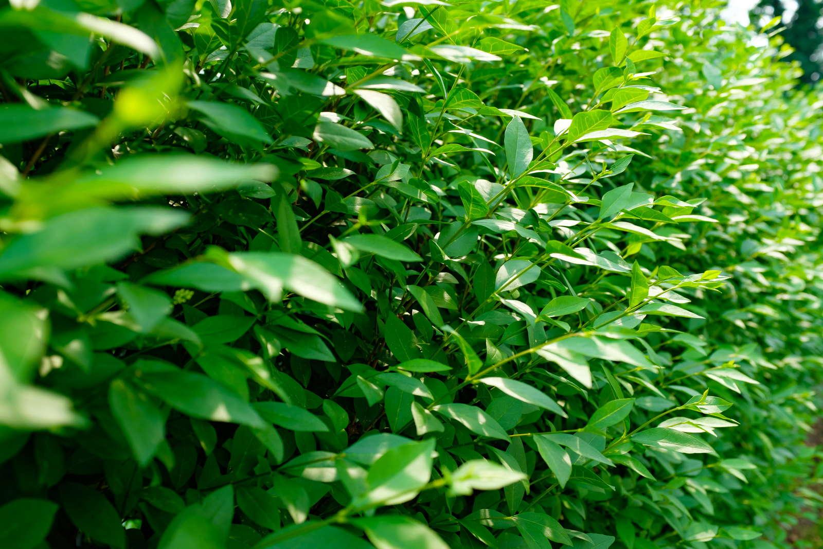Liguster Arten Immergrune Robuste Liguster Hecken Plantura