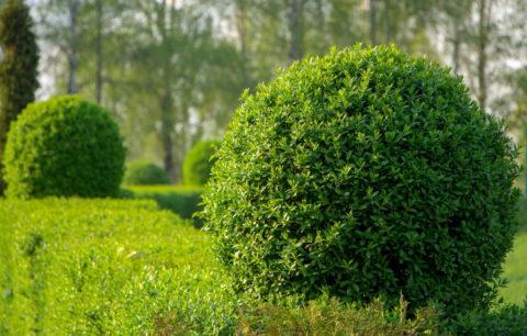 Liguster-Arten: Immergrüne & Robuste Liguster-Hecken
