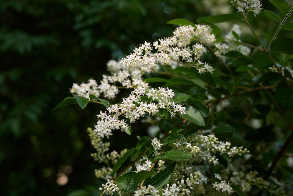 Ligusterstrauch mit weißen Blüten