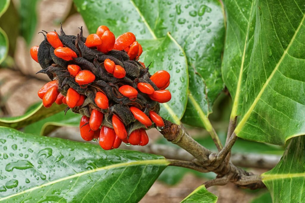 rote Samen Magnolie auf Baum