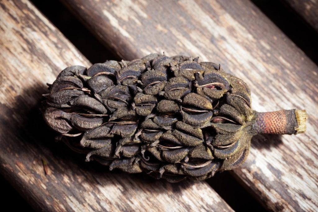 braune Samen von Magnolie auf Holz