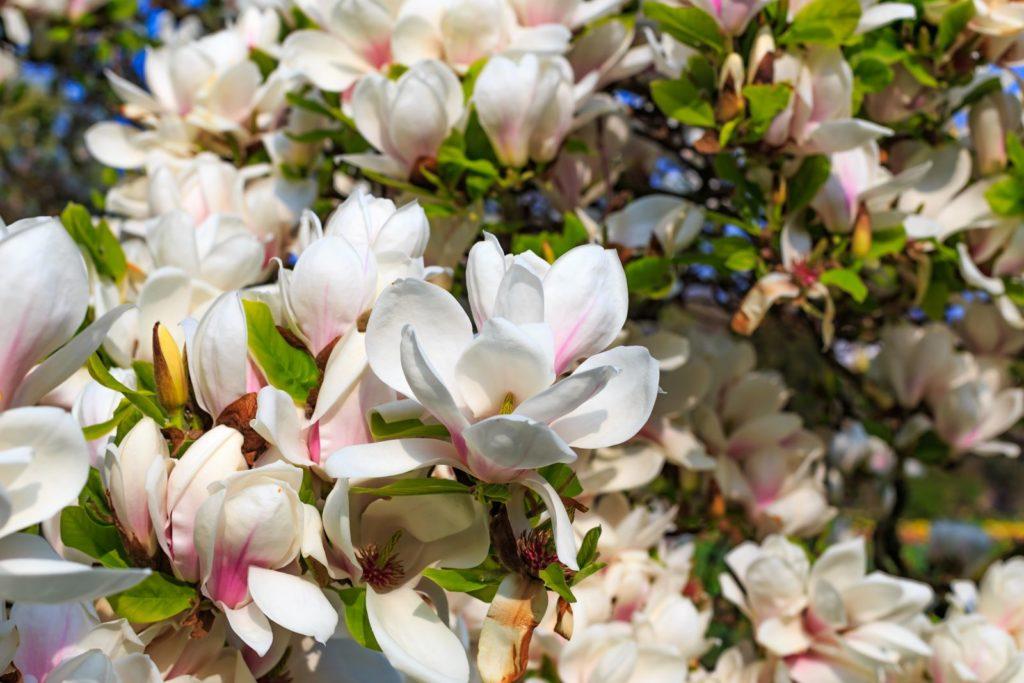 rosa weiße Blüten von Magnolienbaum