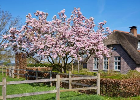 Magnolienbaum Mit Rosa Blüten In Garten