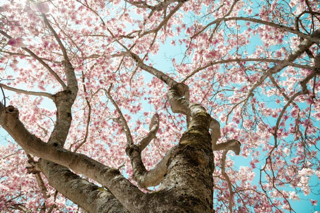 großer Magnolienbaum mit rosa Blüten von unten