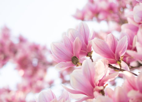 Rosa Magnolienblüten Baum