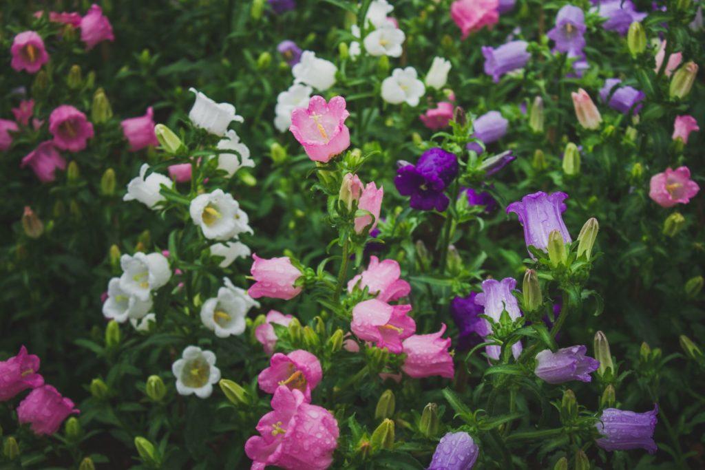 verschiedene bunte Sorten der Marienglockenblume im Garten