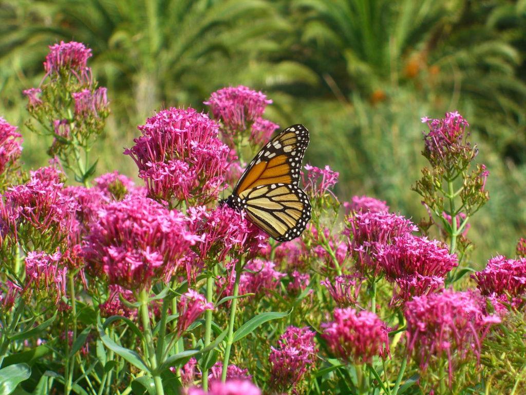 Monarchfalter auf blühendem Baldrian