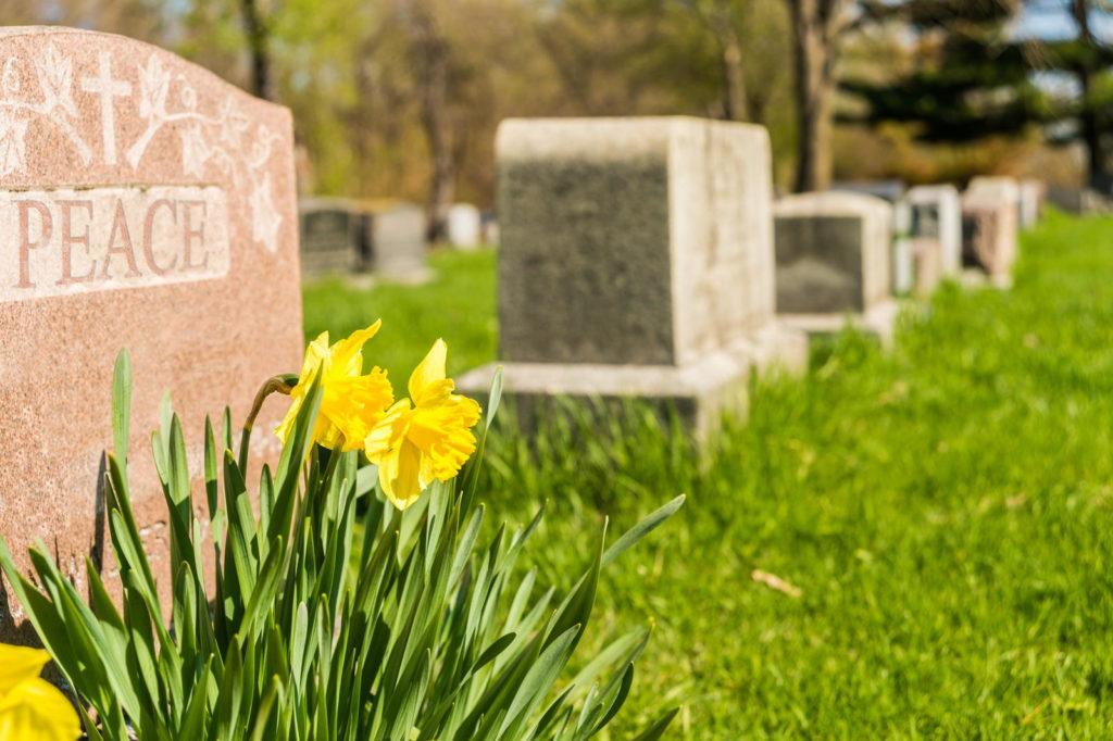 Gelbe Narzisse wächst auf einem Grab