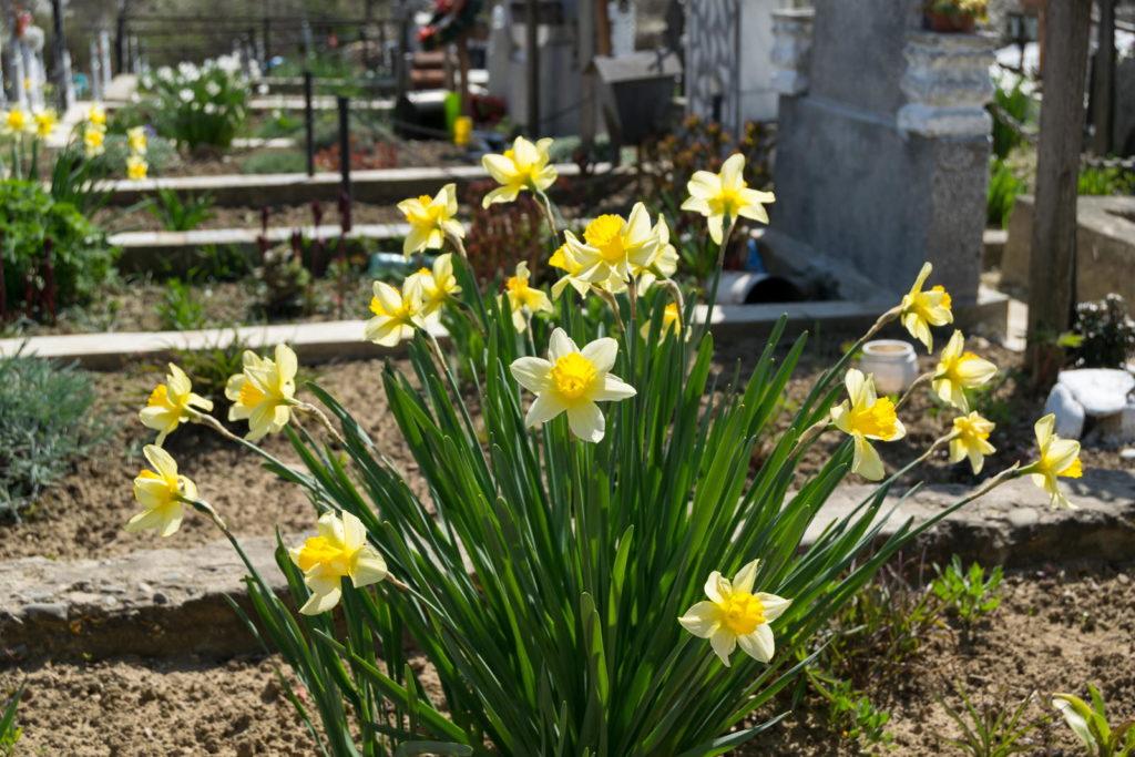 Narzissen wachsen auf einem Grab