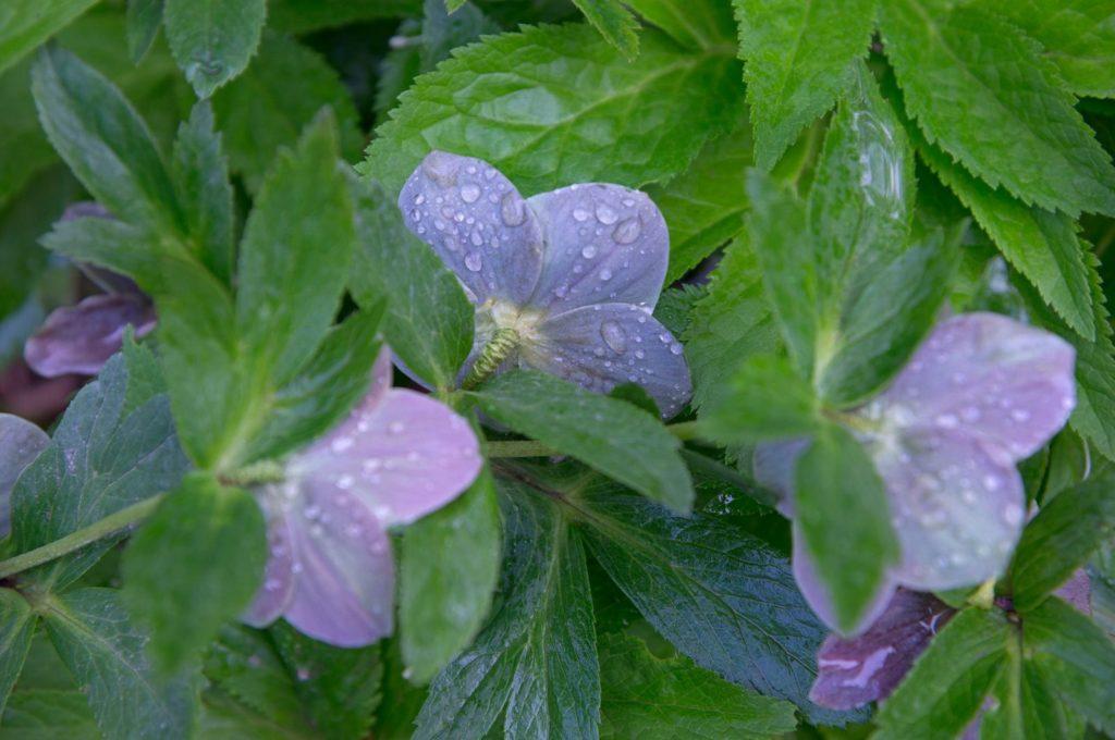 Christrose mit blauen Blüten und Wassertropen