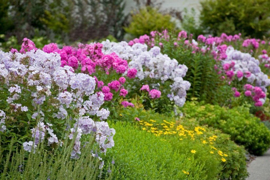 bunter Phlox im Garten