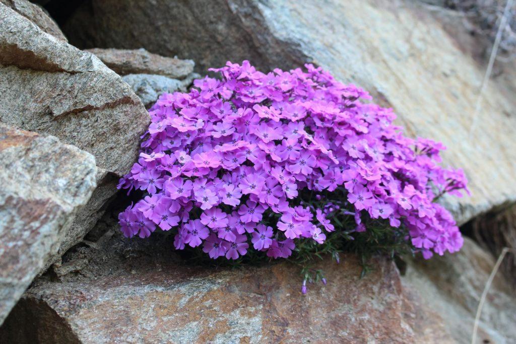 Feuerblume lila pflegen
