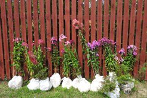 Phlox Anpflanzen