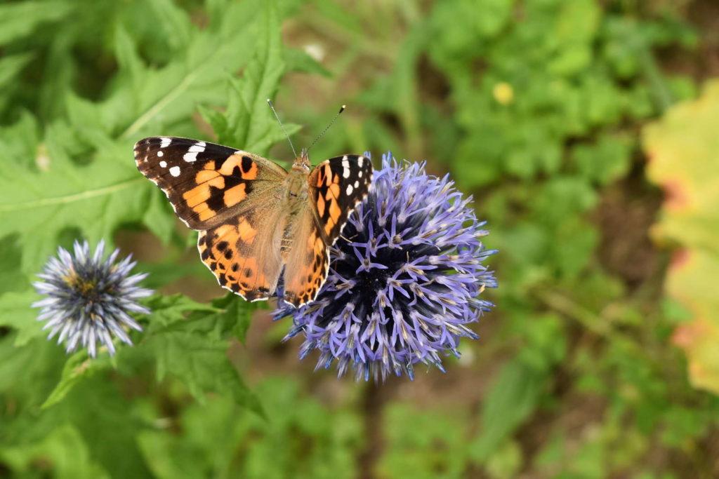Schmetterling auf Kugeldistel im Garten