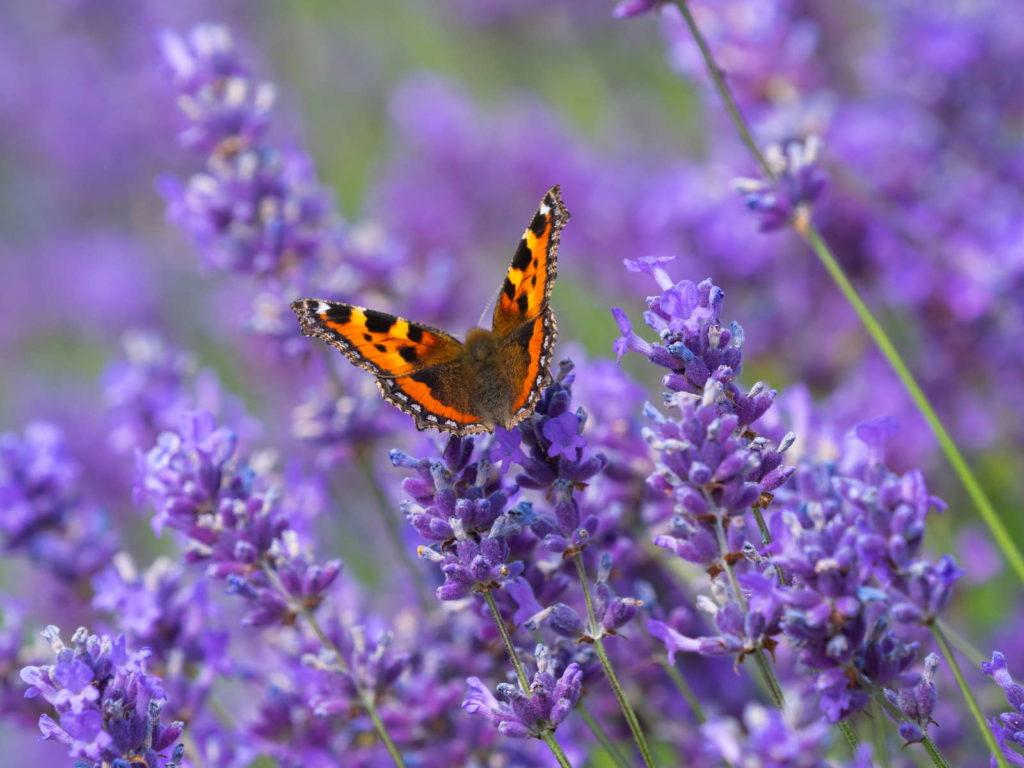 Schmetterling auf Lavendel nah