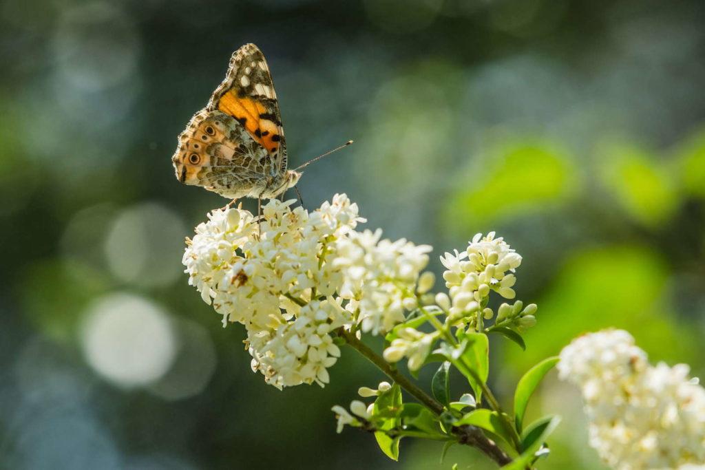 Schmetterling auf Ligusterblüte
