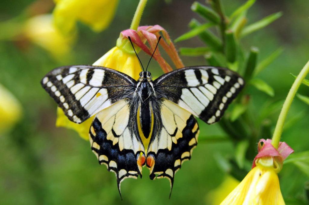 Gemusterter Schmetterling auf Nachtkerze
