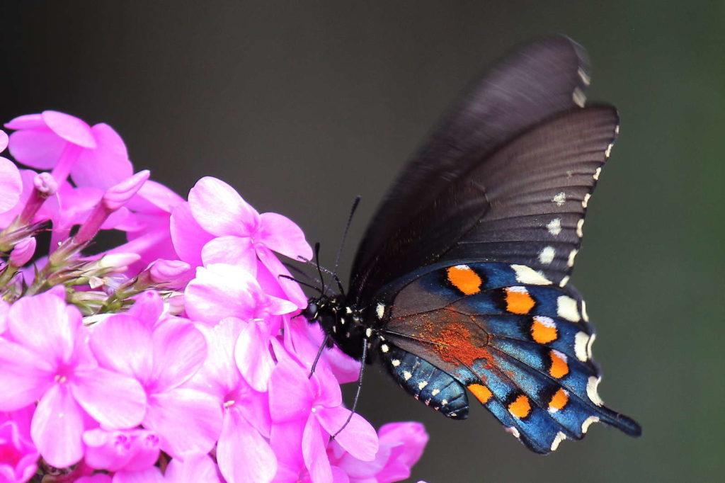 Bunter Schmetterling auf Phlox