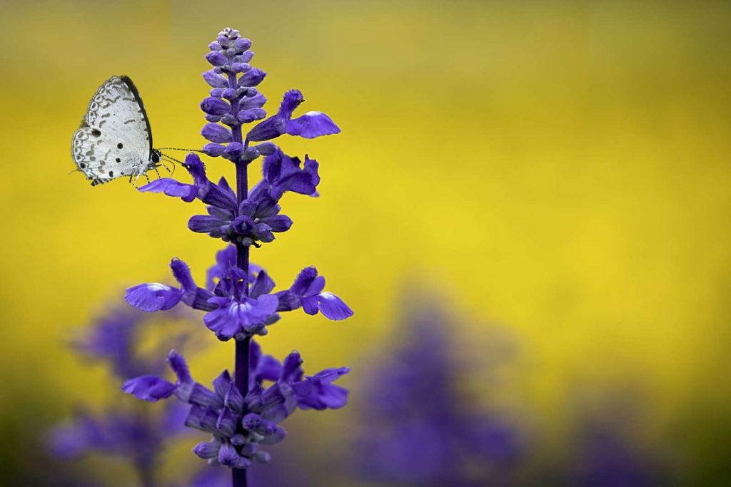 Schmetterling bei Salbeiblüten