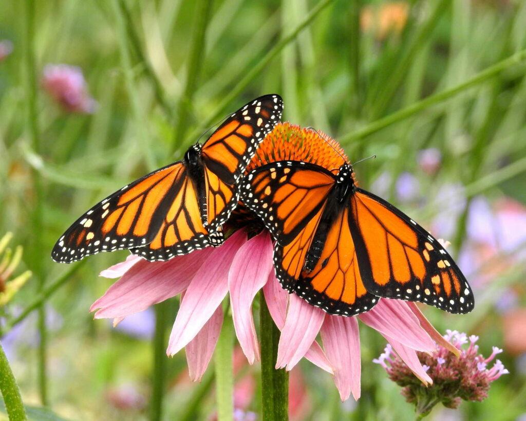 Schmetterlinge auf pinker Blume