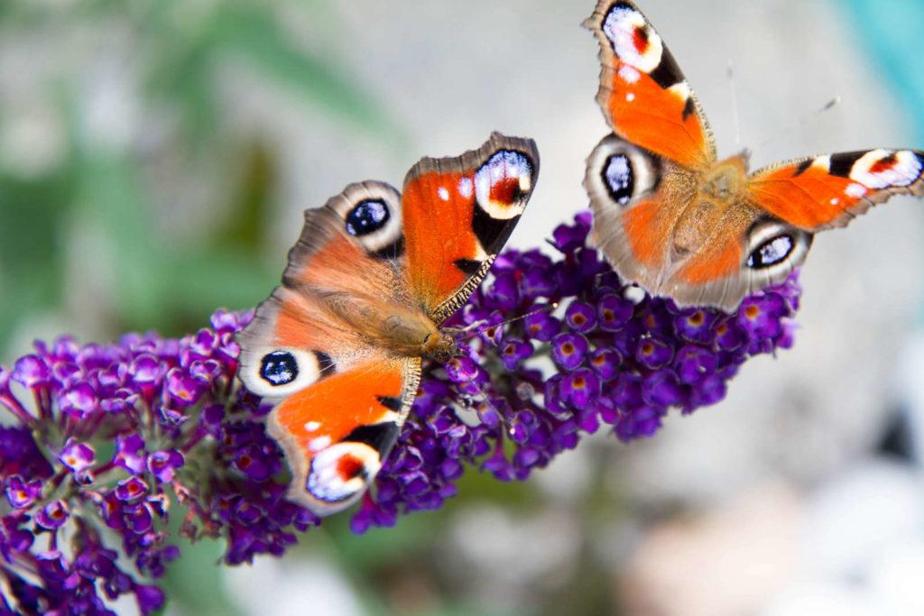 Schmetterlingsflieder mit Schmetterlingen