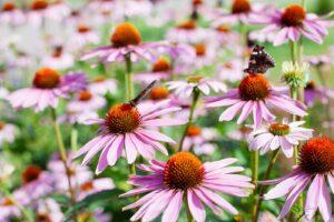 Sonnenhut Mit Schmetterlingen