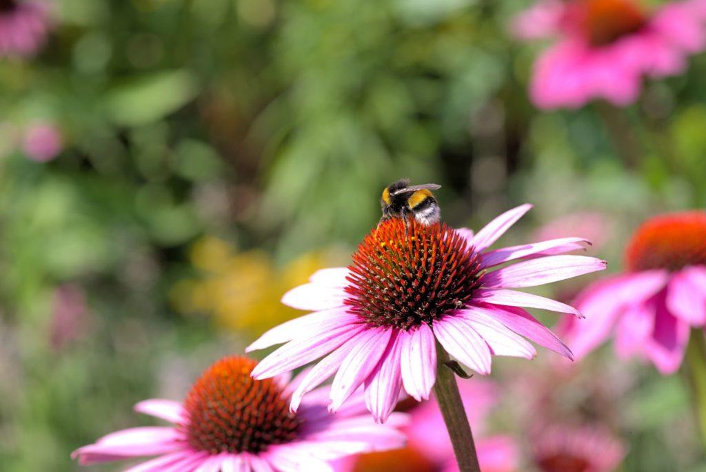 Biene auf Sonnenhut sitzend