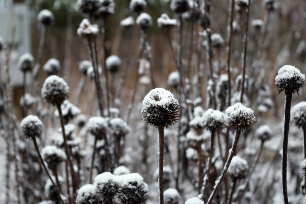 Verblühte Sonnenhüte im Winter im Garten