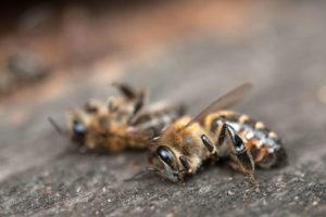 Tote Bienen Auf Tischplatte