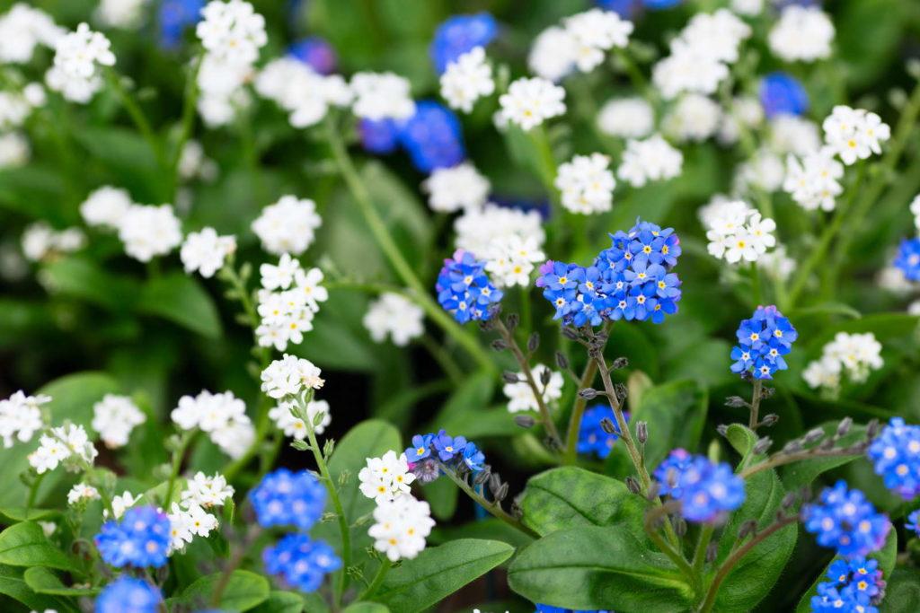 Vergissmeinnicht-Blüten in Blau und Weiß